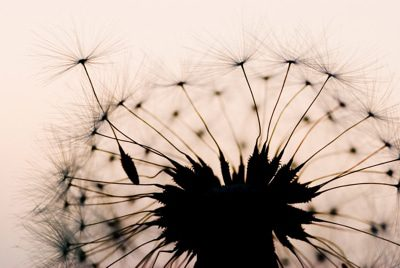 dandelion in the evening